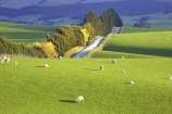agricultural;agriculture;balclutha;clinton;country;country-road;country-roads;countryside;farm;farming;farmland;farms;fibre;field;fields;grass;grassy;green;horticulture;lamb;lush;meadow;meadows;new-zealand;paddock;paddocks;pasture;pastures;road;roads;rural;sheep;south-island;south-otago;verdant;wool;woolly;wooly
