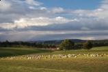 agricultural;agriculture;Animal;Animals;approaching-storm;approaching-storms;black-cloud;black-clouds;cloud;clouds;cloudy;Clutha-District;Clutha-Region;country;countryside;dark-cloud;dark-clouds;ewes;farm;Farm-animals;farming;farmland;farms;field;fields;flock;flocks;gray-cloud;gray-clouds;grey-cloud;grey-clouds;herbivore;herbivores;herbivorous;livestock;mammal;mammals;meadow;meadows;N.Z.;New-Zealand;NZ;Outdoor;Outdoors;Outside;paddock;paddocks;pasture;pastures;rain-cloud;rain-clouds;rain-storm;rain-storms;rural;S.I.;sheep;SI;South-is;South-Island;South-Otago;stock;storm;storm-cloud;storm-clouds;storms;thunder-storm;thunder-storms;thunderstorm;thunderstorms;Waiwera-South;weather;white;wool