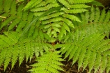 beautiful;beauty;bush;Catlins;Catlins-District;Catlins-Region;cyathea;endemic;fern;fern-detail;fern-details;fern-frond;fern-fronds;ferns;forest;forests;frond;fronds;green;N.Z.;native;native-bush;natives;natural;nature;New-Zealand;NZ;Otago;plant;plants;radial;rain-forest;rain-forests;rain_forest;rain_forests;rainforest;rainforests;S.I.;scene;scenic;SI;South-Is;South-Island;South-Otago;Sth-Is;Sth-Otago;tree;trees;woods