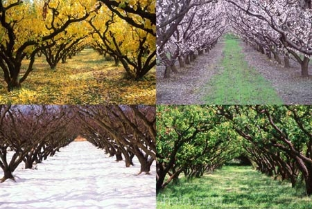 apricot;apricots;autuminal;autumn;autumnal;bannockburn;bloom;blooming;blooms;blossom;blossoming;blossoms;Central-Otago;cold;color;colors;colour;colours;country;countryside;crop;crops;deciduous;fall;farm;farming;farmland;farms;field;freeze;freezing;fresh;fruit;fruit-tree;fruit-trees;grow;growth;horticulture;hot;leaf;leaves;New-Zealand;orchard;orchards;renew;row;rows;rural;season;seasonal;seasons;snow;snowing;snowy;South-Island;spring;springtime;summer;summertime;summery;tree;trees;warm;white;winter;wintery