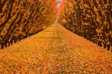 autuminal;autumn;autumn-colour;autumn-colours;autumnal;Central-Otago;color;colors;colour;colours;country;countryside;Cromwell;crop;crops;deciduous;fall;farm;farming;farmland;farms;field;fruit;fruit-tree;fruit-trees;gold;golden;horticulture;leaf;leaves;N.Z.;New-Zealand;NZ;orange;orchard;orchards;Otago;row;rows;rural;S.I.;season;seasonal;seasons;SI;South-Is;South-Island;Sth-Is;tree;trees;yellow