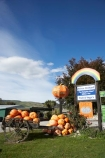 big-pumpkin;big-pumpkins;cart;carts;cartwheel;cartwheels;Central-Otago;enormous-pumpkin;enormous-pumpkins;giant-pumpkin;giant-pumpkins;large-pumpkin;large-pumpkins;Millers-Flat;N.Z.;New-Zealand;NZ;Otago;Peirce-Orchard;Peirce-Orchard-Pumpkin-Roadside-Stall;pony-cart;pumpkin;pumpkins;Roadside-Stall;Roadside-Stalls;S.I.;SI;South-Is.;South-Island;spoked-wheel;spoked-wheels;The-Pumpkin-Place;waggon;waggons;wagon;wagon-wheel;wagon-wheels;wagons;wheel;wheels
