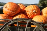 big-pumpkin;big-pumpkins;cart;carts;cartwheel;cartwheels;Central-Otago;enormous-pumpkin;enormous-pumpkins;giant-pumpkin;giant-pumpkins;large-pumpkin;large-pumpkins;Millers-Flat;N.Z.;New-Zealand;NZ;orange;Otago;Peirce-Orchard;Peirce-Orchard-Pumpkin-Roadside-Stall;pony-cart;pumpkin;pumpkins;Roadside-Stall;Roadside-Stalls;S.I.;SI;South-Is.;South-Island;spoked-wheel;spoked-wheels;The-Pumpkin-Place;waggon;waggons;wagon;wagon-wheel;wagon-wheels;wagons;wheel;wheels