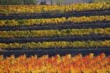 agricultural;agriculture;autuminal;autumn;autumn-colour;autumn-colours;autumnal;Central-Otago;central-otago-vineyard;central-otago-vineyards;central-otago-wineries;central-otago-winery;color;colors;colour;colours;country;countryside;Cromwell;crop;crops;cultivation;deciduous;fall;farm;farming;farmland;farms;field;fields;grape;grapes;grapevine;horticulture;leaf;leaves;N.Z.;new-zealand;NZ;orange;row;rows;rural;S.I.;season;seasonal;seasons;SI;South-Island;tree;trees;vine;vines;vineyard;vineyards;vintage;wineage;wineries;winery;wines