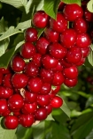 Central-Otago;cherries;cherry;cherry-orchard;cherry-orchards;cherry-tree;cherry-trees;country;countryside;Cromwell;crop;crops;farm;farming;farmland;farms;field;fruit;fruit-tree;fruit-trees;green;horticulture;N.Z.;New-Zealand;NZ;orchard;orchards;red;red-cherries;red-cherry;row;rows;rural;S.I.;SI;South-Is.;South-Island;stone-fruit;summer;tree;trees