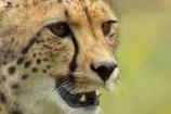 Acinonyx-jubatus;African;Canterbury;carnivore;carnivorous;cat;cats;cheetah;cheetahs;Christchurch;fauna;felidae;mammal;mammals;N.Z.;New-Zealand;NZ;Orana-Wildlife-Park;S.I;SI;South-Is;South-island;wildlife;wildlife-park;wildlife-parks;zoo;zoos