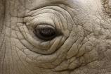 African;animal;animals;Canterbury;Ceratotherium-simum;Ceratotherium-simum-simum;Christchurch;close_up;detail;eye;eyelash;eyelashes;eyes;fauna;mammal;mammals;N.Z.;New-Zealand;NZ;Orana-Wildlife-Park;rhino;rhinoceri;rhinoceroi;rhinoceros;rhinoceroses;rhinos;S.I;SI;South-Is;South-island;Southern-White-Rhinoceros;Square_lipped-Rhinoceros;wildlife;wildlife-park;wildlife-parks;wrinkle;wrinkles;wrinkly;zoo;zoos