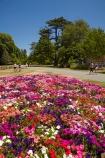 Botanic-Garden;Botanic-Gardens;Botanical-Garden;Botanical-Gardens;Canterbury;Christchurch;Christchurch-Botanic-Gardens;Christchurch-Botanical-Gardens;Christchurch-Gardens;floral;flower;flower-bed;flower-beds;flowers;garden;gardens;Hagley-Park;N.Z.;New-Zealand;NZ;petunia-flowers;petunias;pink;S.I.;SI;South-Is;South-Island
