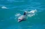 Akaroa-Harbor;Akaroa-Harbour;Canterbury;Cephalorhynchus;Cephalorhynchus-hectori;cetacean;cetaceans;dolphin;dolphins;Hectors-dolphin;Hectors-dolphin;mammal;mammals;marine-mammal;marine-mammals;N.Z.;New-Zealand;NZ;S.I.;SI;South-Is;South-Island;wildlife