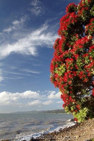 Bloom;coast;coastal;coastline;coastlines;coasts;Coromandel;Coromandel-Peninsula;crimson;flower;flowers;foreshore;metrosideros-excelsa;N.I.;N.Z.;New-Zealand;New-Zealand-Christmas-Tree;Ngarimu-Bay;NI;North-Is;North-Is.;North-Island;NZ;NZ-Christmas-Tree;ocean;plant;plants;pohutakawa;pohutakawas;pohutukawa;pohutukawa-flower;pohutukawa-flowers;Pohutukawa-Tree;pohutukawa-trees;pohutukawas;red;red-bloom;red-crimson;red-flower;red-flowers;sea;shore;shoreline;shorelines;shores;summer;Thames;Thames-Coast;tree;trees;Waikato;water