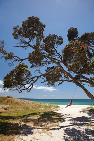 the pohutukawa tree play