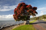 Bloom;coast;coastal;coastline;coastlines;coasts;Coromandel;Coromandel-Peninsula;crimson;flower;flowers;foreshore;metrosideros-excelsa;N.I.;N.Z.;New-Zealand;New-Zealand-Christmas-Tree;Ngarimu-Bay;NI;North-Is;North-Is.;North-Island;NZ;NZ-Christmas-Tree;ocean;plant;plants;pohutakawa;pohutakawas;pohutukawa;pohutukawa-flower;pohutukawa-flowers;Pohutukawa-Tree;pohutukawa-trees;pohutukawas;red;red-bloom;red-crimson;red-flower;red-flowers;sea;shore;shoreline;shorelines;shores;summer;Thames;Thames-Coast;tree;trees;Waikato;water
