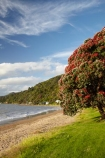 Bloom;coast;coastal;coastline;coastlines;coasts;Coromandel;Coromandel-Peninsula;crimson;flower;flowers;foreshore;metrosideros-excelsa;N.I.;N.Z.;New-Zealand;New-Zealand-Christmas-Tree;Ngarimu-Bay;NI;North-Is;North-Is.;North-Island;NZ;NZ-Christmas-Tree;ocean;plant;plants;pohutakawa;pohutakawas;pohutukawa;pohutukawa-flower;pohutukawa-flowers;Pohutukawa-Tree;pohutukawa-trees;pohutukawas;red;red-bloom;red-crimson;red-flower;red-flowers;sea;shore;shoreline;shorelines;shores;summer;Thames;Thames-Coast;Thornton-Bay;tree;trees;Waikato;water
