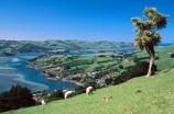 cabbage-tree;cliff;dunedin;farm;farming;field;grazing;harbor;harbours;high;highcliff-road;meadow;meadows;nikau;paddock;paddocks;rural;scenary;scenic;sheep;view