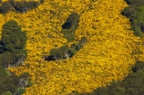 agricultural;agriculture;Bloom;common-gorse;country;countryside;Dunedin;farm;farming;farmland;farms;field;fields;flower;flowers;furze;gorse;gorse-flower;gorse-flowers;Gorse-in-Flower;horticulture;invasive-plant-species;meadow;meadows;N.Z.;native-bush;native-forest;native-forests;New-Zealand;noxious-plant;noxious-plants;noxious-weed;noxious-weeds;NZ;Otago;paddock;paddocks;pasture;pastures;pest;pests;Port-Chalmers;rural;S.I.;season;seasonal;seasons;SI;South-Is;South-Island;spring;springtime;Sth-Is;Ulex-europaeus;weed;weeds;whin;yellow;yellow-flower;yellow-flowers