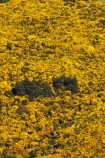 agricultural;agriculture;Bloom;common-gorse;country;countryside;Dunedin;farm;farming;farmland;farms;field;fields;flower;flowers;furze;gorse;gorse-flower;gorse-flowers;Gorse-in-Flower;horticulture;invasive-plant-species;meadow;meadows;N.Z.;New-Zealand;noxious-plant;noxious-plants;noxious-weed;noxious-weeds;NZ;Otago;paddock;paddocks;pasture;pastures;pest;pests;Port-Chalmers;rural;S.I.;season;seasonal;seasons;SI;South-Is;South-Island;spring;springtime;Sth-Is;Ulex-europaeus;weed;weeds;whin;yellow;yellow-flower;yellow-flowers