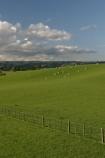 sheep;grass;field;green;fields;farm