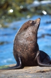 pointy-nose;whiskers;fur;snout;external-ears;acquatic;coastline;water;sea;ocean;marine;marine;mammal;new-zealand;native;wildlife;natural-history;otago-coast;seals;natural;nature;mammals;wildlife;Arctocephalus-forsteri-