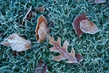 autuminal;autumn;autumn-colour;autumn-colours;autumn-tree;autumn-trees;autumnal;Botanic-Garden;Botanic-Gardens;Botanical-Garden;Botanical-Gardens;city-garden;city-gardens;cold;color;colors;colour;colours;council-garden;council-gardens;deciduous;Dunedin;Dunedin-Botanic-Garden;Dunedin-Botanic-Gardens;Dunedin-Botanical-Garden;Dunedin-Botanical-Gardens;Dunedin-Gardens;fall;freezing;frost;frosts;frosty;frosty-grass;frosty-leaf;frosty-leaves;garden;gardens;leaf;leaves;N.Z.;New-Zealand;North-Dunedin;NZ;oak;oak-leaf;oak-leaves;Otago;plant;plants;S.I.;season;seasonal;seasons;SI;South-Is;South-Is.;South-Island;Sth-Is