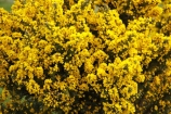 agricultural;agriculture;country;countryside;farm;farming;farmland;farms;field;fields;flower;flowers;gorse;horticulture;meadow;meadows;noxious-weed;paddock;paddocks;pasture;pastures;pest;pests;rural;weed;weeds;yellow