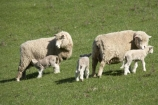 agricultural;agriculture;Animal;Animals;baby-sheep;country;countryside;Dunedin;ewes;farm;Farm-animals;farming;farmland;farms;field;fields;fresh;grass;green;grow;growth;herbivore;herbivores;herbivorous;lamb;lambs;livestock;mammal;mammals;meadow;meadows;N.Z.;New-Zealand;NZ;Otago;Outdoor;Outdoors;Outside;paddock;paddocks;pasture;pastures;renew;rural;S.I.;season;seasonal;seasons;Sheep;SI;South-Is.;South-Island;spring;springtime;stock;twin;twin-lambs;twins;white;wool;woolly;wooly