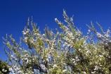 East-Cape;east-coast;Eastland;Flower;flowers;leptospermum-scoparium;Manuka;manukas;new-zealand;north-is.;north-island;tea-tree;tea-trees;tea_tree;tea_trees;teatree;teatrees