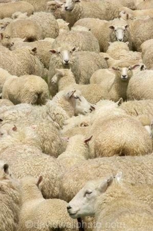 agricultural;agriculture;Animal;Animals;country;countryside;Crowd;Crowded;Crowds;Daytime;drove;droving;ewes;farm;Farm-animals;farming;farms;field;fields;Fiordland;flock;flocks;Herbivore;Herbivores;Herbivorous;herd;herds;Livestock;Mammal;Mammals;Mass;meadow;meadows;mob;muster;mustering;N.Z.;New-Zealand;NZ;Outdoor;Outdoors;Outside;paddock;paddocks;pasture;pastures;Rural;S.I.;Sheep;SI;South-Island;Southland;stock;white;wool;woolly;wooly
