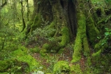 beautiful;beauty;Beech-Forest;bush;endemic;fiordland;Fiordland-N.P;fiordland-national-park;Fiordland-NP;forest;forests;glade;green;island;kb1a5116;lush;milford-road;moss;mosses;N.Z.;national-park;National-parks;native;native-bush;native-forest;natives;natural;nature;new;new-zealand;Nothofagus;nz;rain-forest;rain-forests;rain_forest;rain_forests;rainforest;rainforests;S.I.;scene;scenic;SI;south;South-Is.;South-Island;South-West-New-Zealand-World-Her;southern-beeches;Southland;te-wahipounamu;te-wahipounamu-south_west-new;timber;tree;tree-trunk;tree-trunks;trees;trunk;trunks;verdant;wood;woods;world-heirtage-site;World-Heritage-Area;World-Heritage-Site;zealand