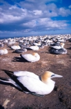 bird;birds;colonies;gannets;Morus-serrator;native;natural-history;nature;nest;nests;new-zealand;wildlife