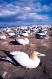 bird;birds;colonies;gannets;Morus-serrator;native;natural-history;nature;nest;nests;new-zealand;wildlife