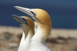 Australasian-Gannet;Australasian-Gannet-Colony;Australasian-Gannets;bird;bird-watching;bird_watching;birds;birdwatching;Cape-Kidnappers;Cape-Kidnappers-Gannet-Colony;coastal;colony;eco-tourism;eco_tourism;ecotourism;feather;feathers;gannet;Gannet-Colonies;Gannet-Colony;gannets;Hawke-Bay;Hawkes-Bay;Hawkes-Bay;marine;Morus-serrator;N.I.;N.Z.;native;natural-history;nature;new-zealand;NI;North-Is;North-Is.;North-Island;NZ;ocean;ornithology;sea;Takapu;wildlife