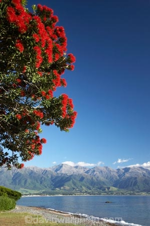 coast;coastal;coastline;coastlines;coasts;flower;flowers;Kaikoura;Kaikoura-Coast;Marlborough;metrosideros-excelsa;N.Z.;New-Zealand;NZ;ocean;oceans;Pacific-Ocean;plant;plants;pohutakawa;pohutakawas;pohutukawa;pohutukawa-flower;pohutukawa-flowers;pohutukawa-tree;pohutukawa-trees;pohutukawas;S.I.;sea;Seaward-Kaikoura-Range;Seaward-Kaikoura-Ranges;shore;shoreline;shorelines;shores;SI;South-Island;tree;trees;water