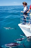 boat;boats;dolphins;eco-toruism;eco_tourism;ecotourism;Lagenorhynchus-obscurus;ocean-,sea;pacific;splash;tourism;tourist;tourists;wildlife