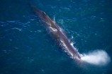 aerial;aerial-photo;aerial-photography;aerial-photos;aerial-view;aerial-views;aerials;Animal;Animals;big;Cetacean;Cetaceans;coast;coastal;coasts;eco-tourism;eco_tourism;ecotourism;giant;gigantic;head;heads;huge;Kaikoura;mammal;mammals;Marine-life;Marine-mammal;Marine-mammals;Marlborough;N.Z.;nature;New-Zealand;NZ;ocean;oceans;pacific-ocean;Physeter-macrocephalus;ratural;S.I.;sea;Sea-mammal;Sea-mammals;seas;SI;South-Island;spectacular;sperm-whale;sperm-whales;Water;Whale;whale-watch;whale-watchers;whale-watching;whale_watch;whale_watchers;whale_watching;whales;wildlife