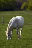 agricultural;agriculture;Canterbury;country;countryside;equestrian;farm;farming;farmland;farms;field;fields;Hamner;Hamner-Springs;Hanmer;Hanmer-Springs;horse;horses;Hurunui-District;meadow;meadows;N.Z.;New-Zealand;NZ;paddock;paddocks;pasture;pastures;rural;S.I.;SI;South-Is;South-Is.;South-Island;Sth-Is;white-horse;white-horses