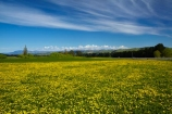 agricultural;agriculture;blue;country;countryside;Dandelion;Dandelions;farm;farming;farmland;farms;field;fields;Greta-Valley;meadow;meadows;N.Z.;New-Zealand;NZ;paddock;paddocks;pasture;pastures;rural;S.I.;SI;South-Is;South-Island;Sth-Is;Taraxacum;yellow;yellow-flower;yellow-flowers