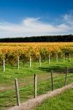 agricultural;agriculture;autuminal;autumn;autumn-colour;autumn-colours;autumnal;color;colors;colour;colours;country;countryside;crop;crops;cultivation;deciduous;East-Plain-Vineyard;fall;farm;farming;farmland;farms;field;fields;grape;grapes;grapevine;horticulture;leaf;leaves;Martinborough;Martinborough-Wineries;Martinborough-Winery;N.I.;N.Z.;New-Zealand;NI;North-Island;NZ;orange;Puruatanga-Road;row;rows;rural;season;seasonal;seasons;Te-Kairanga;Te-Kairanga-Vineyard;Te-Kairanga-Vineyards;Te-Kairanga-Wines;tree;trees;vine;vines;vineyard;vineyards;vintage;Wairarapa;wine;wineries;winery;wines;yellow