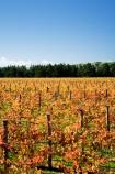 agricultural;agriculture;autuminal;autumn;autumn-colour;autumn-colours;autumnal;color;colors;colour;colours;country;countryside;crop;crops;cultivation;deciduous;fall;farm;farming;farmland;farms;field;fields;grape;grapes;grapevine;horticulture;leaf;leaves;Martinborough;Martinborough-Wineries;Martinborough-Winery;N.I.;N.Z.;New-Zealand;NI;North-Island;NZ;orange;row;rows;rural;season;seasonal;seasons;Te-Muna-Road;tree;trees;vine;vines;vineyard;vineyards;vintage;Wairarapa;wine;wineries;winery;wines;yellow