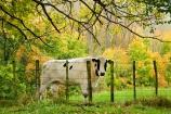 agricultural;agriculture;autuminal;autumn;autumn-colour;autumn-colours;autumnal;cattle;color;colors;colour;colours;country;countryside;cow;cows;deciduous;fall;farm;farming;farmland;farms;fence;fenceline;fencelines;fences;field;fields;leaf;leaves;meadow;meadows;N.I.;N.Z.;New-Zealand;NI;North-Island;NZ;paddock;paddocks;pasture;pastures;Rangitikei;rural;season;seasonal;seasons;Taoroa-Junction;tree;trees