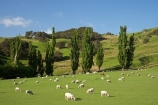 agricultural;agriculture;and;country;countryside;farm;farming;farmland;farms;field;fields;Fresh;green;grow;Growth;island;Livestock;Lower-North-Island;lush;masterton;meadow;meadows;N.I.;N.Z.;near;new;new-zealand;NI;north;North-Is;north-is.;north-island;NZ;o8l0932;paddock;paddocks;pasture;pastures;rural;season;seasonal;seasons;sheep;spring;springtime;stock;Tinui;wairarapa;zealand