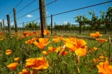 agricultural;agriculture;bloom;blooms;Californian-poppies;country;countryside;crop;crops;cultivation;farm;farming;farmland;farms;fence;fenceline;fencelines;fences;field;fields;floral;flower;flowers;grape;grapes;grapevine;horticulture;Lower-North-Island;Martinborough;meadow;meadows;N.I.;N.Z.;New-Zealand;NI;North-Is;North-Island;NZ;orange;paddock;paddocks;pasture;pastures;poppies;poppy;row;rows;rural;vine;vines;vineyard;vineyards;vintage;Wairarapa;wine;wineries;winery;wines