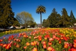 Blenheim;bloom;blooming;blooms;blossom;blossoming;blossoms;flower;flower-beds;flower-garden;flower-gardens;flowers;fresh;grow;growth;Marlborough;N.Z.;New-Zealand;NZ;orange;palm;palm-tree;palm-trees;palms;park;parks;renew;S.I.;season;seasonal;seasons;Seymore-Sq;Seymore-Square;Seymour-Square;SI;South-Is;South-Is.;South-Island;spring;spring-time;spring_time;springtime;Sth-Is;yellow