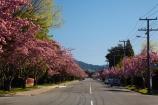avenue;Blenheim;bloom;blooming;blooms;blossom;blossoming;blossoms;flower;flowers;fresh;grow;growth;Marlborough;N.Z.;New-Zealand;NZ;pink;pink-blossom;renew;S.I.;season;seasonal;seasons;SI;South-Is;South-Is.;South-Island;spring;spring-time;spring_time;springtime;Sth-Is