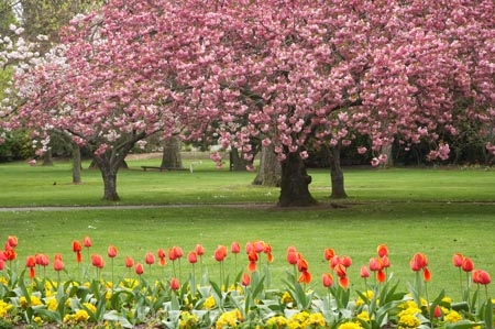 Spring blossom and tulips ashburton domain mid for Grow landscapes christchurch