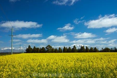 Yellow flowers of rapeseed field near methven and mt hutt mid yellow flowers of rapeseed field near methven and mt hutt mid canterbury south island new zealand mightylinksfo