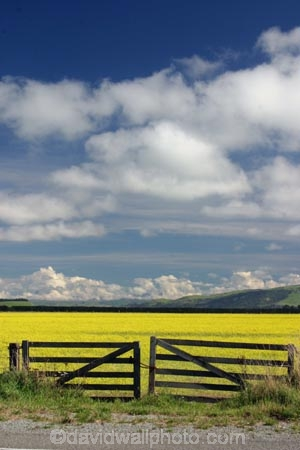 agricultural;agriculture;Canola;canterbury;chain;chained;chains;close;closed;cloud;clouds;color;colors;colour;colours;country;countryside;crop;cropping;crops;cultivate;cultivation;farm;farming;farmland;farms;fence;fences;field;fields;flower;flowers;gate;gate_way;gate_ways;gates;gateway;gateways;horticultural;horticulture;latch;lock;meadow;meadows;new-zealand;paddock;paddocks;pasture;pastures;rape-seed;rural;shut;sky;south-canterbury;south-island;yellow