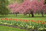 Ashburton-Domain;Ashburton-Gardens;bloom;blooming;blooms;blossom;blossoming;blossoms;Botanic-Garden;Botanic-Gardens;Botanical-Garden;Botanical-Gardens;Canterbury;Christchurch;flower;flowers;fresh;grow;growth;in-springtime;Mid-Canterbury;Mid_Canterbury;N.Z.;New-Zealand;NZ;pink;renew;S.I.;season;seasonal;seasons;SI;South-Is.;South-Island;spring;springtime;tulip;tulips