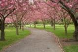 Ashburton-Domain;Ashburton-Gardens;avenue;avenues;bloom;blooming;blooms;blossom;blossoming;blossoms;Botanic-Garden;Botanic-Gardens;Botanical-Garden;Botanical-Gardens;Canterbury;Christchurch;footpath;footpaths;fresh;grow;growth;in-springtime;Mid-Canterbury;Mid_Canterbury;N.Z.;New-Zealand;NZ;path;paths;pathway;pink;renew;S.I.;season;seasonal;seasons;SI;South-Is.;South-Island;spring;springtime