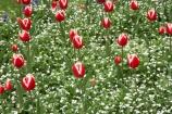 Ashburton-Domain;Ashburton-Gardens;bloom;blooming;blooms;Botanic-Garden;Botanic-Gardens;Botanical-Garden;Botanical-Gardens;Canterbury;Christchurch;flower;flowers;fresh;grow;growth;in-springtime;Mid-Canterbury;Mid_Canterbury;N.Z.;New-Zealand;NZ;red;renew;S.I.;season;seasonal;seasons;SI;South-Is.;South-Island;spring;springtime;tulip;tulips