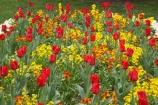 Ashburton-Domain;Ashburton-Gardens;bloom;blooming;blooms;Botanic-Garden;Botanic-Gardens;Botanical-Garden;Botanical-Gardens;Canterbury;Christchurch;flower;flowers;fresh;grow;growth;in-springtime;Mid-Canterbury;Mid_Canterbury;N.Z.;New-Zealand;NZ;red;renew;S.I.;season;seasonal;seasons;SI;South-Is.;South-Island;spring;springtime;tulip;tulips;yellow